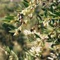 Olive Tree, Crete