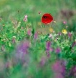 Flora of Crete - poppies and lavender grow wild