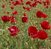 Poppies in springtime