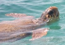 Loggerhead Sea Turtle - Caretta caretta (image by Chomik)