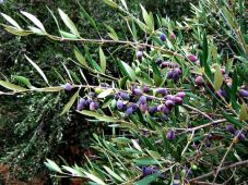 Olives on the tree in Crete