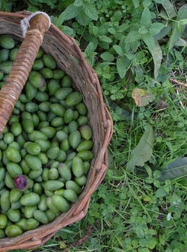 Fresh olives just picked - in the basket