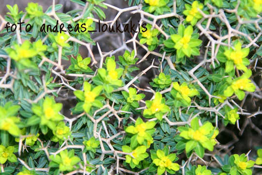 Greek Spiny Spurge (image by Andreas Loukakis)