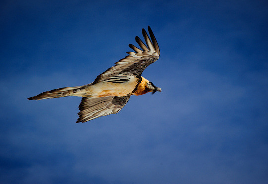 Gypaetus barbatus Bearded Vulture on the wing (image by Jayhem)