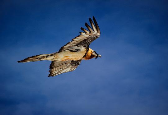 Gypaetus barbatus Bearded Vulture on the wing (image by Jayhem)