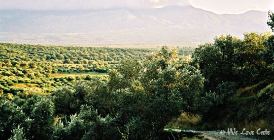 Much of Crete is planted with olives