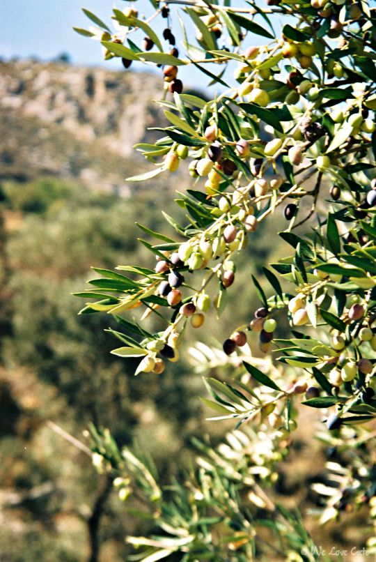 Olive tree with ripening olives