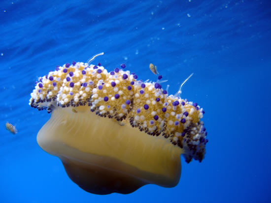 Clear waters make for good diving - Mediterranean Jellyfish - Cotylorhiza tuberculo jelly fish