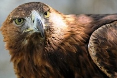 Birds of Crete - the Golden Eagle (image by Daniel Giup)