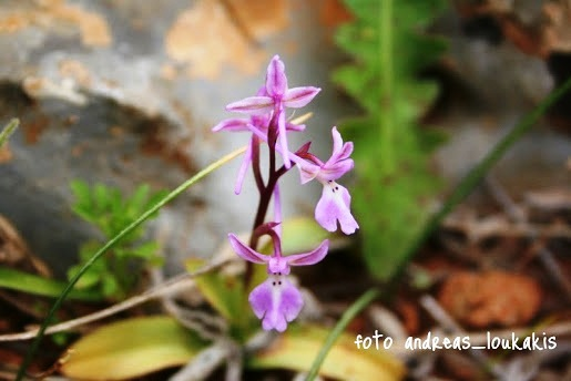 Four spotted orchis - Orchis quadripuntata flowers in March and April (image by Andreas Loukakis)
