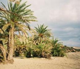 Vai Palm - Phoenix Theofrasti