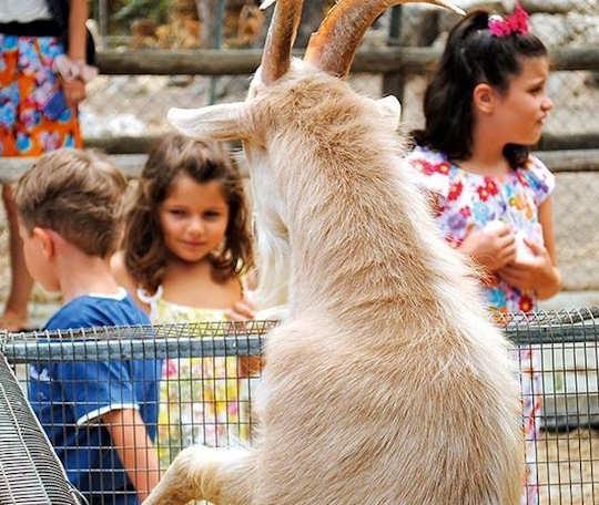 Crete Family Holiday - Kri Kri goats at Agreco Farm