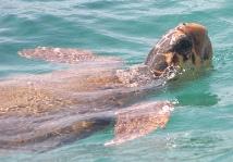 Loggerhead Turtle - Caretta caretta (image by Chomik)