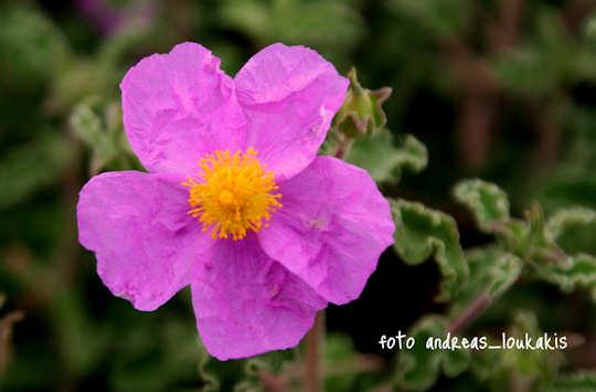 Cretan Rock Rose Cistus creticus (image by Andreas Loukakis)