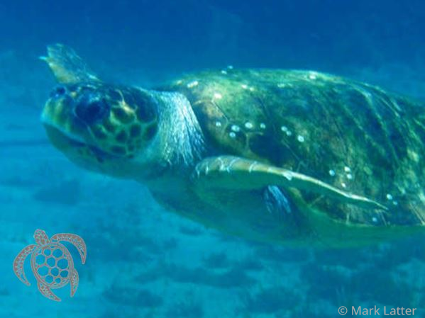 Loggerhead Sea Turtle - Caretta caretta (image by Mark Latter)