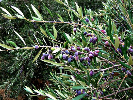 Olives on the branch (image by Ole Husby)