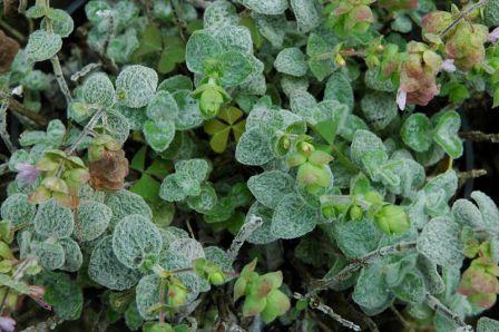 Origanum dictamnus healing herb