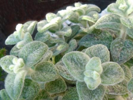 Dittany - a healing herb from Crete