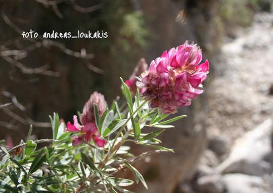 Cretan ebony (image by Andreas Loukakis)