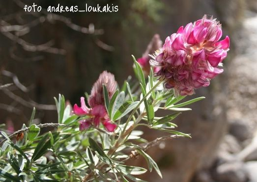 Cretan Ebony (Cretan Silver Bush, Shrubby Sainfoil) Edenus cretica (image by Andreas Loukakis)