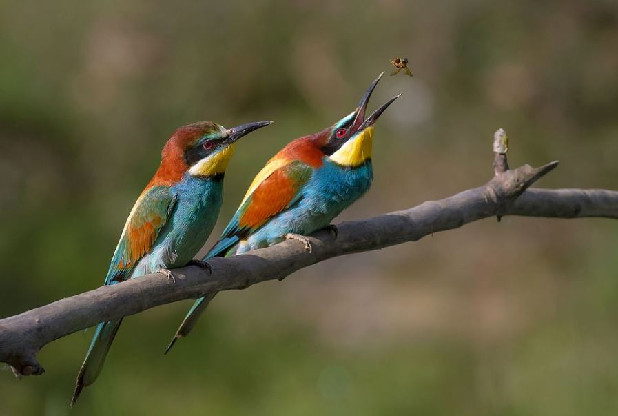 European Bee-eater, Merops apiaster (image creative commons Pierre Dalous)