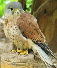 European Kestrel Falco tinnunculus