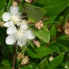 Myrtle - Myrtus communis (image by Jimenez)