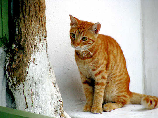 Ginger Cat, Mykonos by Travelling Runes