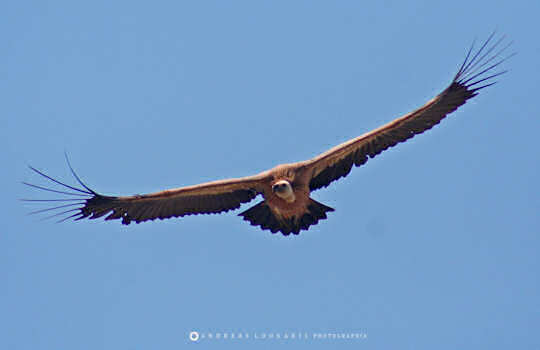Gyps fulvus Griffon Vulture in Crete (image by Andreas Loukakis)