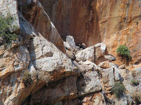 Griffon Vultures nesting in Crete, these magnificent birds can have a wingspan of up to 2.8 metres