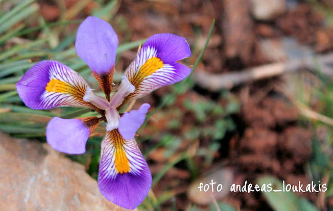 Cretan Iris  Κρητική Ίριδα  Iris cretensis (image by Andreas Loukakis)