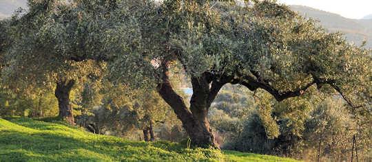 Koronekes Olive Farm