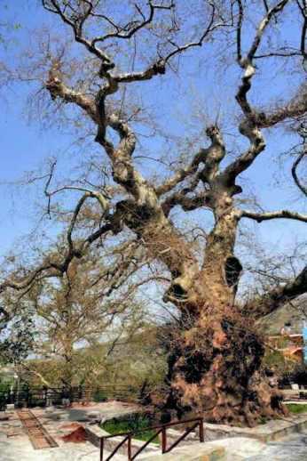 Ancient plane tree in Krasi Village, Crete