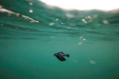 Leatherback Turtle baby swims out to sea...Dermochelys coriacea