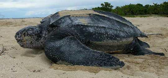 Leatherback Sea Turtle - Dermochelys coriacea