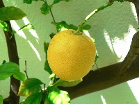 Lemon tree - photo by Kyknoord