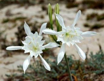 Lily of the Beach - Crete