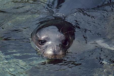 Mediterranean Monk Seal, Crete