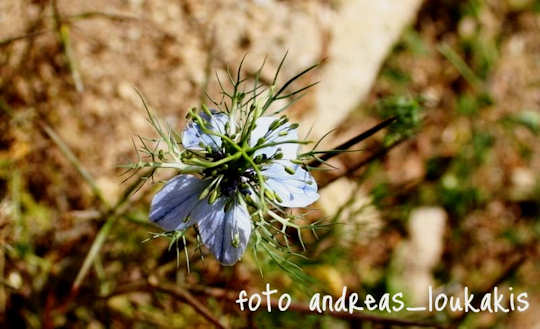 Spring flower tours - Nigella damascena (image by Andreas Loukakis)