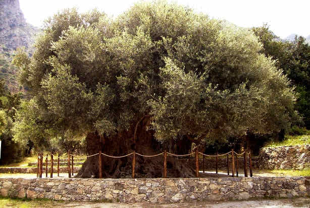 One of the Oldest Olive Trees in Greece - a living monument in Lasithi, The Olive Tree of Azorias