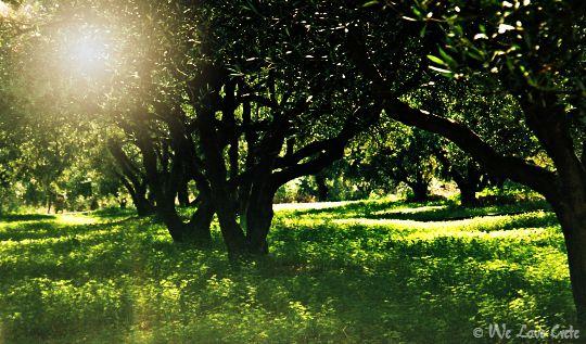 Olive grove in Crete