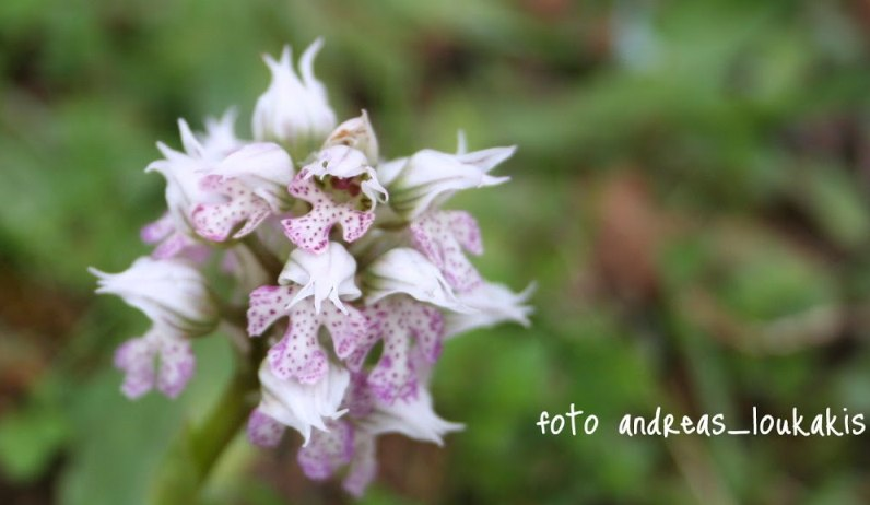 Three-toothed Orchis Orchis tridentata (image by Andreas Loukakis)