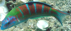 Ornate Wrasse (image by Anders Finn)
