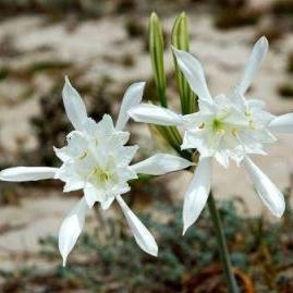 Lily of the Sea  Pancratium maritimum