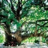 Plane Tree - Platanus orientalis