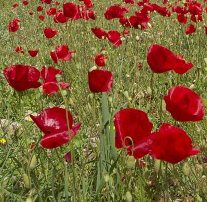 Poppies in Crete in springtime