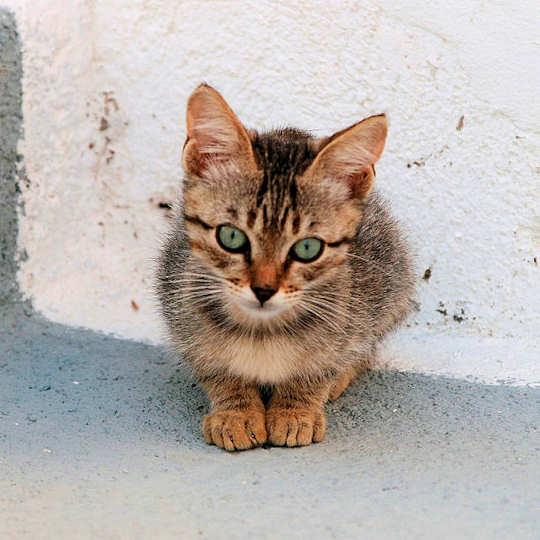 Santorini Cat by Didier Baertschiger