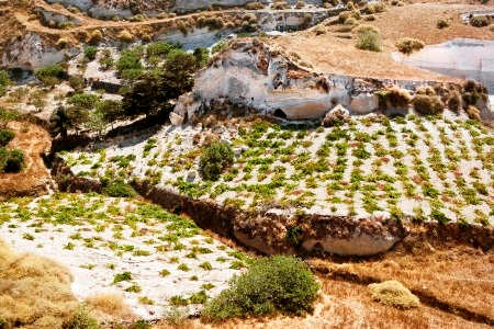 Vineyards in the volcanic ash hills of Thira
