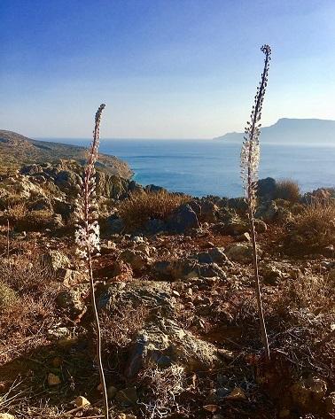 Sea Squill - Urginea maritima in Crete