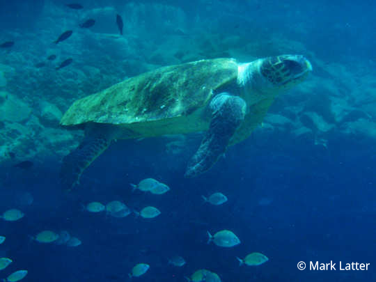 Caretta caretta Loggerhead Sea Turtle in Crete (image credit: Mark Latter)